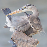 Great blue heron (Ardea herodias) appears to twist self into a knot while preening feathers. Finalist, Festival de l'Oiseau et de la Nature 2017.