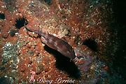 blind shark, Brachaelurus waddi, New South Wales, Australia ( Western South Pacific Ocean )