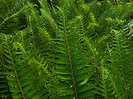 Western Sword Ferns  (Polystichum munitum) grow abundantly in a lush temperate forest, Kitsap Peninsula, Puget Sound, WA, USA
