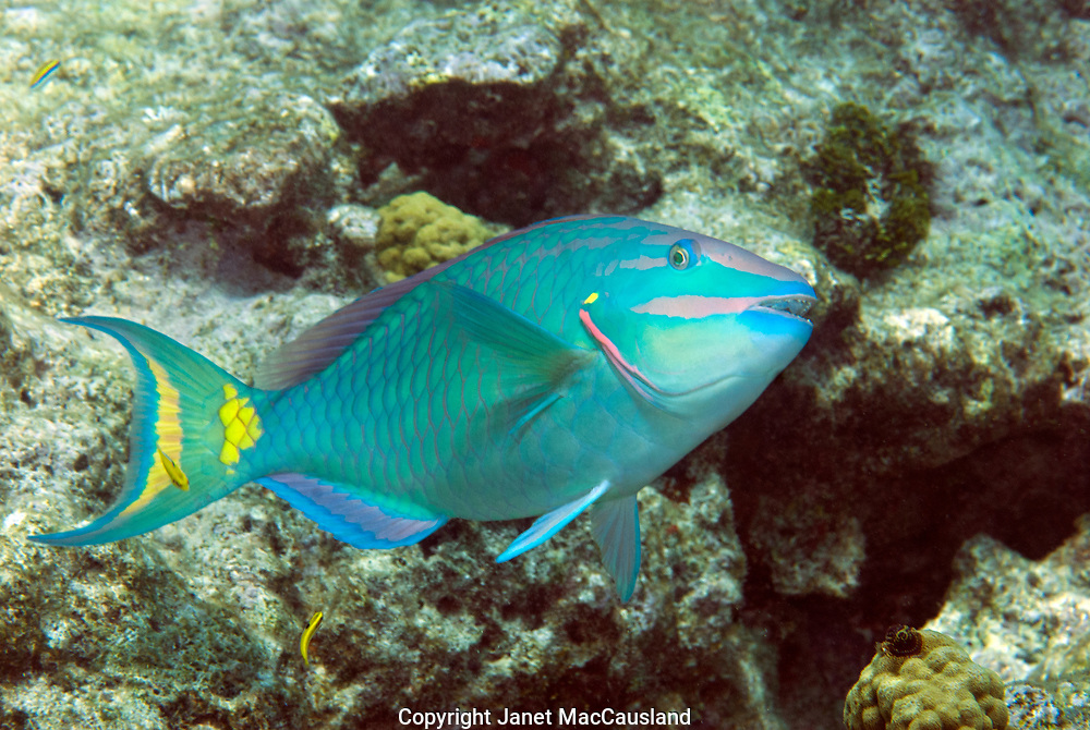 A terminal phase Stoplight Parrotfish (Sparisoma viride) is being cleaned by yellow wrasses. Fish appear to go into a trance while being cleaned by other underwater creatures. These Parrot fishes are in a rainbow of colors.