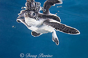 green sea turtle hatchling ( Chelonia mydas ) and reflection, Endangered Species, Caribbean (c, de)