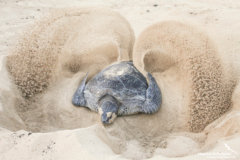 A huge Green sea turtle laying a clutch of eggs on Ascension Island in the South Atlantic.
