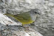 MacGillivray's Warbler - Oporornis tolmiei - female