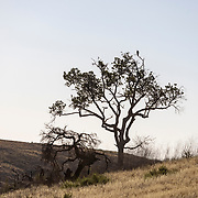 A hawk sits atop an oak tree in the hills of the Santa Monica Mountains near the Victory Trailhead in West Hills, California.
