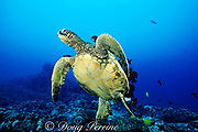 green sea turtle, Chelonia mydas, with surgeonfish grazing algae from shell, Honokohau, Kona, Big Island, Hawaii, United States ( Central Pacific Ocean )