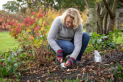 Planting tulips in a border in autumn
