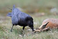 Raven; Corvus corax feeding on Roe Deer, Canillo, Andorra