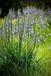 Camassia leichtlinii subsp. suksdorfii Caerulea Group growing in the long grass at Parham House and Garden