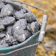 5/18/09 -- HARPSWELL, Maine. A bucket of Ken's clams sit in a bucket. He figures that one bucket, heaped over like this one will be about equal to one peck of clams. Ken Bailey of Brunswick has dug clams for a living for the last 16 years. With the passage of LD 447 he thinks he stands a chance to make ends meet. But - he's not ready to buy a new sink yet. Photo by Roger S. Duncan.