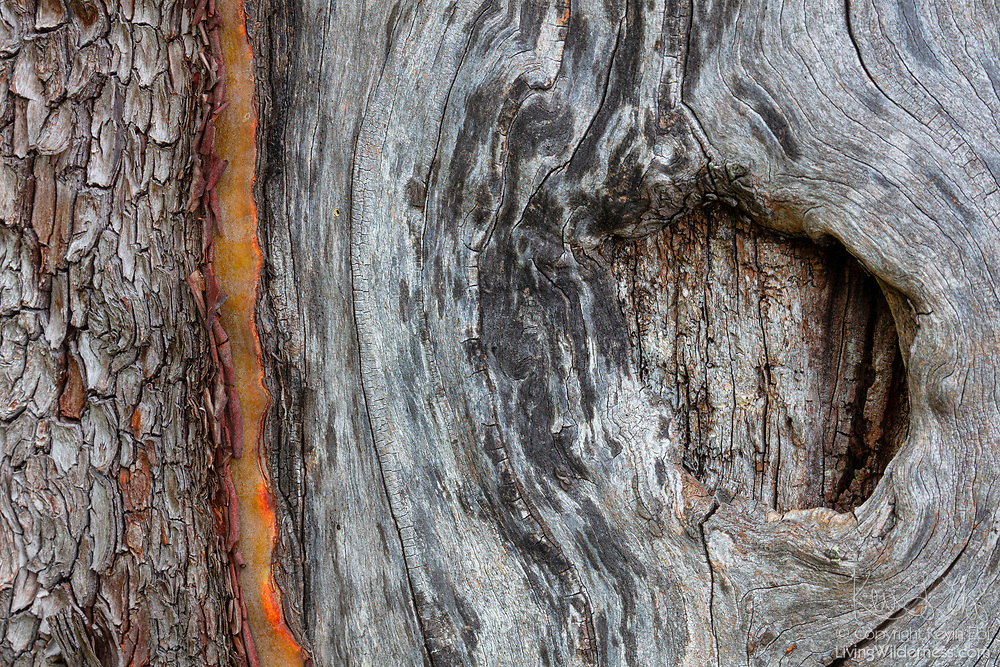 A large knot is visible on the trunk of a Pacific madrone (Arbutus menziesii) growing on San Juan Island in Washington state. Pacific madrone are also known as madrona and arbutus trees.