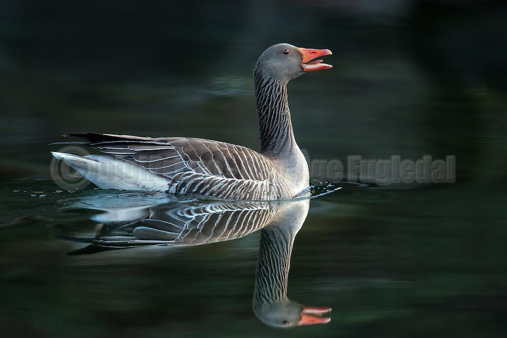 Gray Goose with a reflection, svimming on the ocean   Grågås med speilbilde, svømmer i sjøen