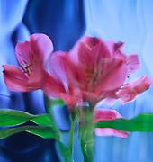 Pink lillies viewed through contoured blue glass