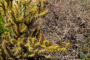 Cholla cactus (Opuntia cholla) and dry brush interacting
