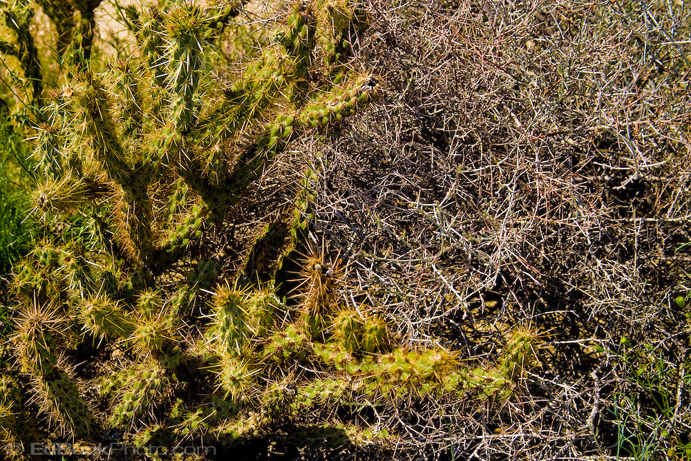 Cholla cactus (Opuntia cholla) and dry brush interacting