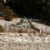 Africa, Namibia, Puros. Springbok of the Puros Conservancy.