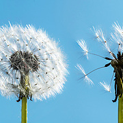 A single dandelion photographed at four different stages of its life cycle, from bright flower to last seed leaving to create new life.