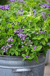 Galvanised container with Heliotropium arborescens 'Reva' - Heliotrope - and Pelargonium 'Cola Bottles' syn. 'Torrento'