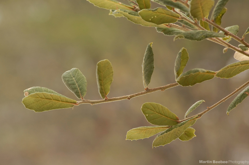 Leaves of Arizona White Oak (Quercus arizonica), Coronado National Forest, Arizona