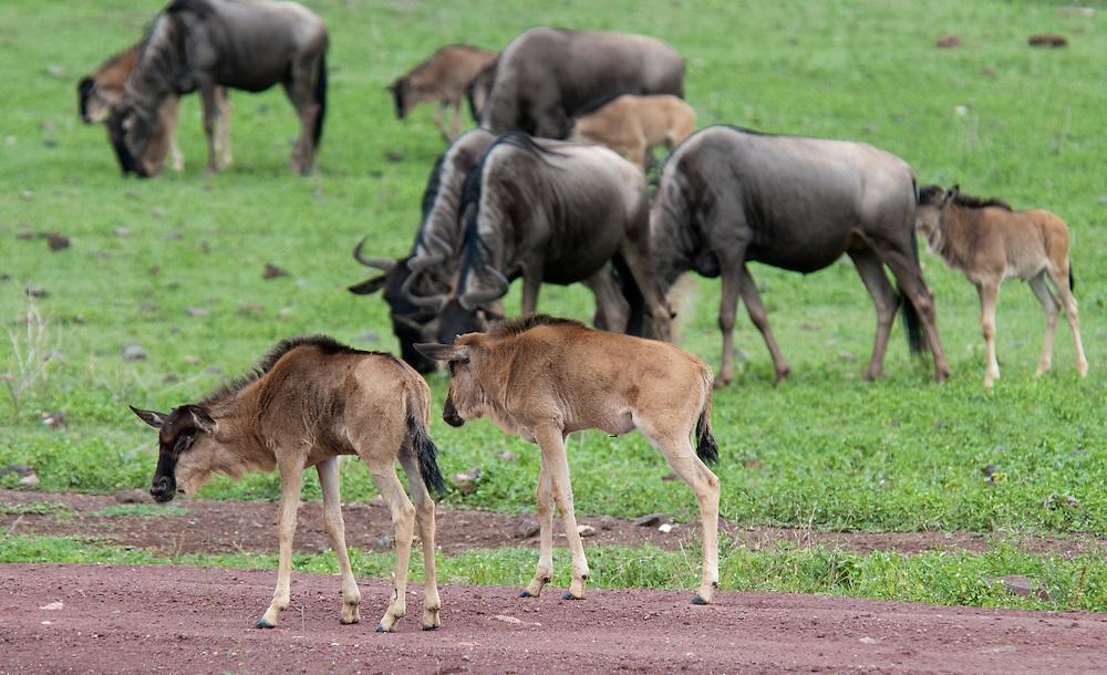 The Wildebeest - Gnu - Nyumbu