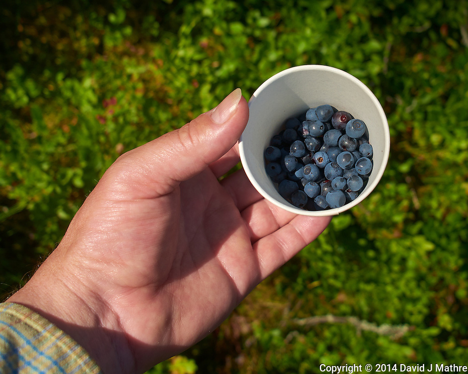 Foraging Wild Blueberries in the Woods near Rovaniemi, Finland. Semester at Sea, Summer 2014 Voyage, Reindeer and Lappland Field Trip. Image taken with a Leica X2 camera (ISO 100, 24 mm, f/5, 1/640 sec). Raw image processed with Capture One Pro, Focus Magic, and Photoshop CC.