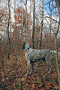 English setter, Magic, points a woodcock during a northern Wisconsin hunt.