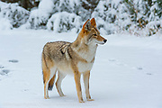 A Coyote, Canis latrans, hunts for food along the shore of the Madison River in Yellowstone National Park, Wyoming.