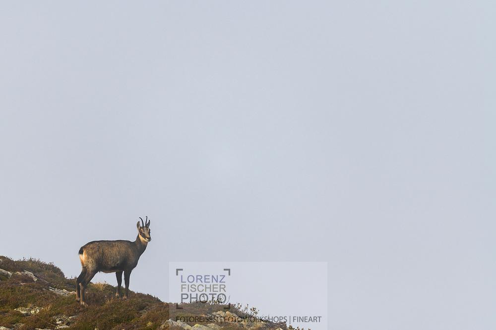 Eine Gämse (Rupicapra rupicapra) im Nebel; Niederhorn, Kanton Bern, Schweiz<br /> <br /> A chamois (Rupicapra rupicapra) in the fog; Niederhorn, Canton of Bern, Switzerland
