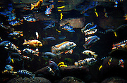 SHOT 9/7/2007 - Numerous species of Cichlids swim in a tank at the Shedd Aquarium in Chicago, Ill. Cichlids are small, spiny-finned fish that live in tropical fresh water worldwide. Estimates of the number of cichlid species range from 1,300 to 1,900, making it one of the three largest vertebrate families. Cichlids are particularly well known for having evolved rapidly into a large number of closely related but morphologically diverse species within large lakes, particularly the African Rift Valley lakes of Tanganyika, and Victoria, and Malawi. The diversity of cichlids in the African Great Lakes is important for the study of speciation in evolution. Many cichlids that have been accidentally or deliberately released into freshwaters outside of their natural range have become nuisance species, for example tilapia in the southern United States. Chicago is the largest city in the state of Illinois, the largest in the Midwest and, with a population of nearly 3 million people, is the third largest in the United States. Chicago is a city rich in history and also renowned for its architecture. Chicago attracts about 33 million visitors annually from around the world and nation. .(Photo by Marc Piscotty © 2007)