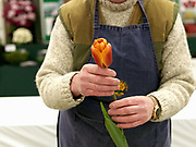 A man prepares his prize tulip for showing at the Harrogate Spring Show, Harrogate, North Yorkshire, UK