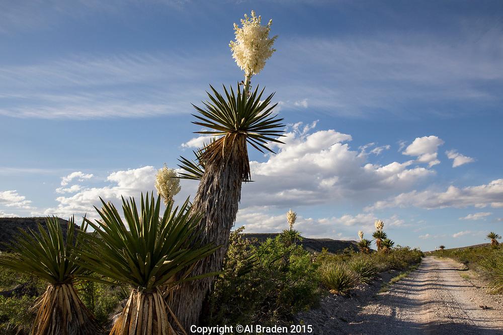 Giant Dagger Yucca, (Yucca faxoniana), at Dagger Flats, Big Bend National Park, Texas