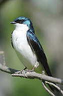 This tree swallow is perched and sitting all regal on a tree branch.