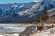 Bighorn sheep ram along Abraham Lake near Nordegg, Alberta, Canada