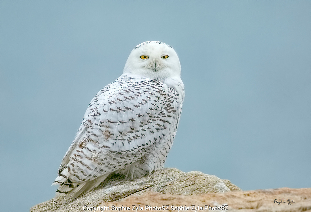 Snowy Owl on the Rocks at the Beach
