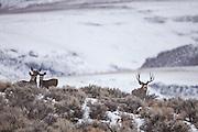 Mule deer buck (Odocoileus hemionus)chasing does during the fall rut in western Wyoming