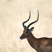 An impala buck at Tarangire National Park in northern Tanzania not far from Ngorongoro Crater and the Serengeti.