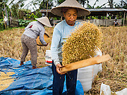 20 JULY 2016 - TAMPAKSIRING, GIANYAR, BALI:  A woman removes dirt and small particles from rice kernels during the harvest in Bali. Rice is an important part of the Balinese culture. The rituals of the cycle of planting, maintaining, irrigating, and harvesting rice enrich the cultural life of Bali beyond a single staple can ever hope to do. Despite the importance of rice, Bali does not produce enough rice for its own needs and imports rice from nearby countries. Because of its dependable growing weather and number of micro-climates, rice cultivation is a year round activity in Bali. Some farmers can be harvesting rice, while farmers just a few kilometers away can be planting rice. Most rice in Bali is still harvested by hand.     PHOTO BY JACK KURTZ