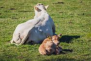 05-05-2020: Oldeholtwolde, Weststellingwerf - Pasgeboren kalf veilig bij moeder
