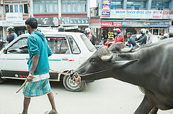 Farmer with water buffaloes in the traffic, Kathmandu, Nepal