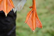 Close-up view of bright orange goose feet.