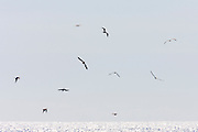 Ten brown boobies (Sula leucogaster) hunt for food in the Pacific Ocean near Sayulita, Mexico. The brown booby prefers to feed in large flocks and feeds by making plunging dives from 30 to 50 feet above the water (9 to 15 meters).
