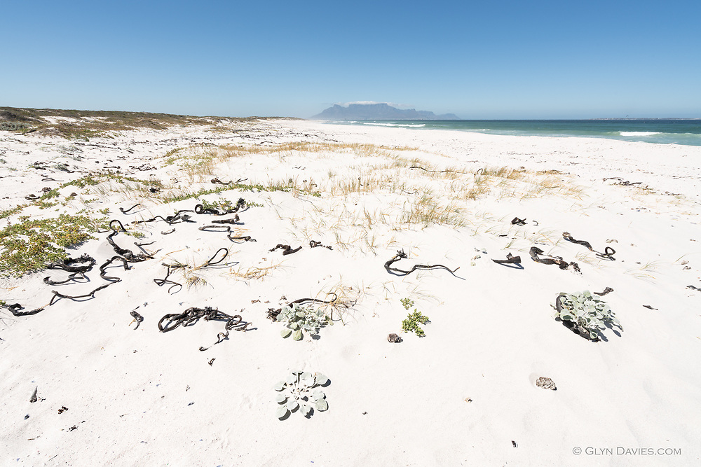 Exposed to the force of the Atlantic Ocean, baked in searing summer heat, blasted by gale force winds, it surprising that anything survives on these shores but with Table Mountain as a backdrop, small succulent plants cling to life amongst the dead Kelp and delicate grasses on this vast white sand beach.