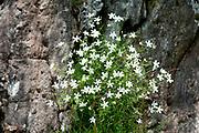 White flowers growing in Limestone Cliff, Fagaras Mountains, Transylvanian Carpathians Alps, Romania
