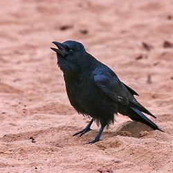 """Gralha-preta (Corvus corone) fotografado na Alemanha, na Unição Européia - Europa. Registro feito em 2016.<br /> ⠀<br /> <br /> ENGLISH: Carrion Crow photographed in Germany, in European Union - Europe. Picture made in 2016."""
