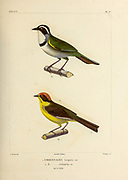 hand coloured sketch Top: white-browed or Stripe-headed brush finch (Arremon torquatus [Here as Embernagra torquata]) Bottom: yellow-breasted or cloud-forest or Rufous-naped brush finch (Atlapetes latinuchus [Here as Embernagra rufinucha]) From the book 'Voyage dans l'Amérique Méridionale' [Journey to South America: (Brazil, the eastern republic of Uruguay, the Argentine Republic, Patagonia, the republic of Chile, the republic of Bolivia, the republic of Peru), executed during the years 1826 - 1833] 4th volume Part 3 By: Orbigny, Alcide Dessalines d', d'Orbigny, 1802-1857; Montagne, Jean François Camille, 1784-1866; Martius, Karl Friedrich Philipp von, 1794-1868 Published Paris :Chez Pitois-Levrault et c.e ... ;1835-1847