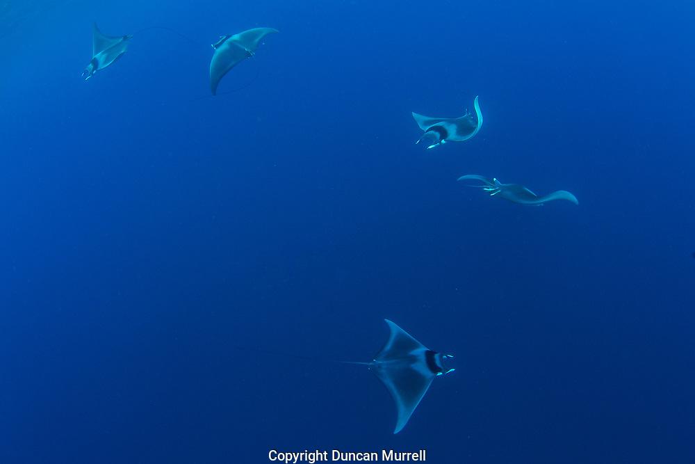 Spinetail devil rays ( Mobula mobular ) engaged in courtship, Honda Bay, Palawan, the Philippines