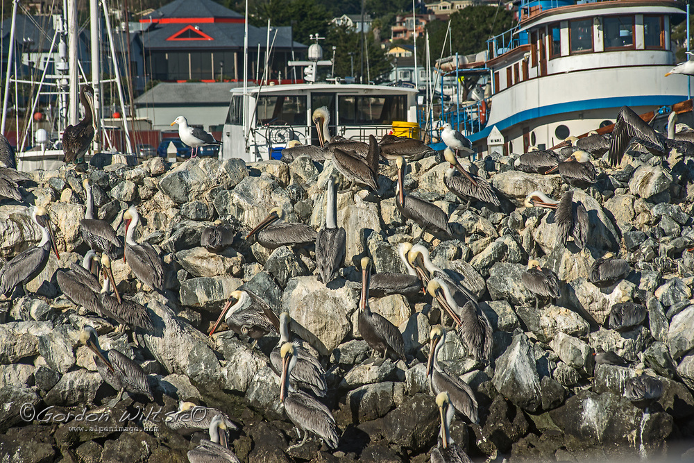 Brown pelicans preen themselves on a breakwater at Pillar Point Harbor, Half Moon Bay, California.