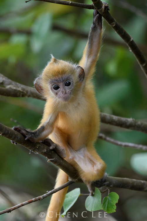 The bright orange coloration of this infant Silvered Langur (Trachypithecus cristatus) helps them to be seen and hence guarded by the entire troop. They will gradually lose this coloration after 3 months of age. Bako National Park, Sarawak, Malaysia (Borneo).