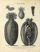 Holothuria [sea cucumbers] Holothuria Pentactes, Papillosa, Squamata and Penicillus. Copperplate engraving by J Chapman, From the Encyclopaedia Londinensis or, Universal dictionary of arts, sciences, and literature; Volume X;  Edited by Wilkes, John. Published in London in 1811