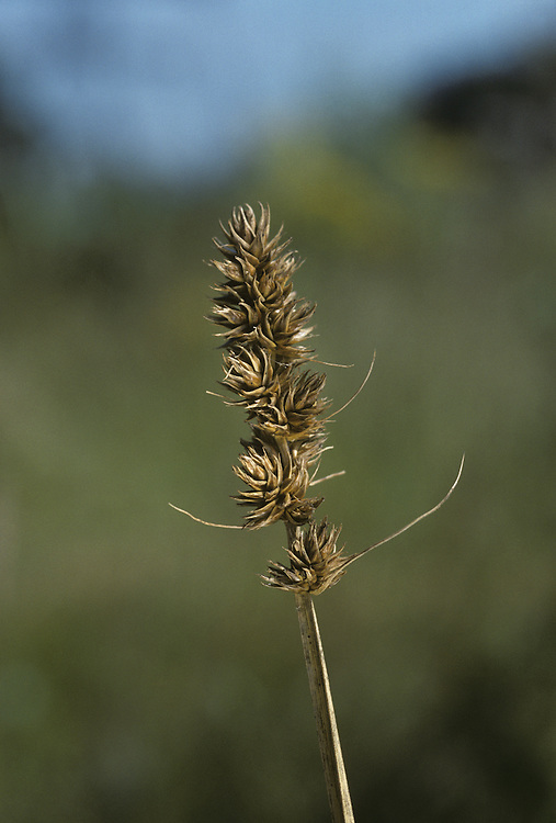 False Fox Sedge (Carex otrubae) Tufted perennial of damp, grassy ground, growing mainly on heavy soils. Stems robust, rough, 3-sided. FLOWERS Greenish brown, in a dense head with long bracts (June-July). FRUITS Smooth, beaked, ribbed. LEAVES Stiff, upright, 5-10mm wide.