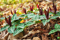 The very rare and endangered Confederate trillium is one of the most beautiful and striking members of the trillium genus to be found in the American Southwest. These were photographed as part of a very healthy and robust colony, that were recently discovered growing among the more common species of spotted wakerobins in Tallahassee, Florida.